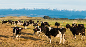 New Zealand Winter Cows Royalty Free Stock Photography