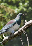 New Zealand Wood Pigeon Stock Photos