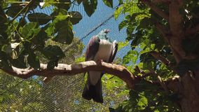 New Zealand Wood Pigeon in recovery center stock video