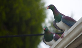 New Zealand Wood Pigeons Stock Photo