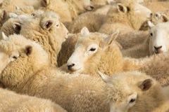 New Zealnad Lambs Stock Photos