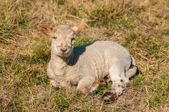 New Zealnd Lamb. One New Zealand lame resting in the warmth of the spring sun Royalty Free Stock Photo