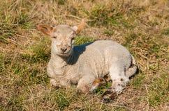 New Zealnd Lamb Royalty Free Stock Photo