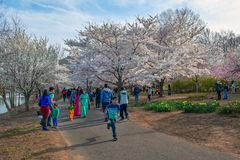 Branchbrook Cherry Blossoms Stock Photography