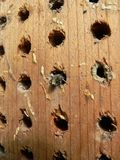 Newbee. An orchard mason bee emerges from the nest stock image