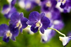 Newberry Parfait 'Picotee' Orchid Stock Photo