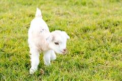 Newborn белая коза пигмея козы ребенк младенца в поле травы Стоковая Фотография
