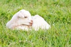 Newborn белая коза пигмея козы ребенк младенца в поле травы Стоковые Фото