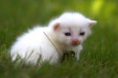 Newborn белый котенок на зеленой траве Стоковые Фотографии RF