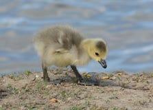 Newborn гусенок гусыни Канады Стоковая Фотография