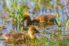 2 newborn гусят гусыни Greylag Стоковая Фотография