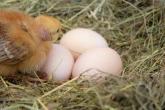 Newborn желтые цыплята в гнезде сена вдоль целого Крупный план желтых цып стоковое фото