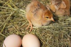 Newborn желтые цыплята в гнезде сена вдоль целого Крупный план желтых цып стоковая фотография