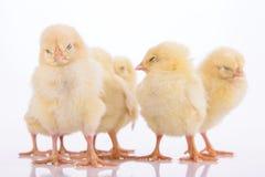 Newborn изолированные цыплята Стоковое Изображение RF