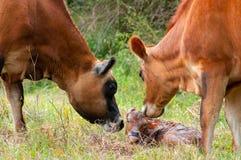 Newborn икра Джерси Стоковые Изображения