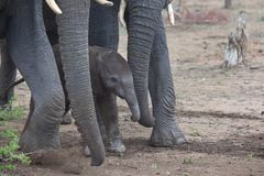Newborn икра слона, Южная Африка Стоковая Фотография