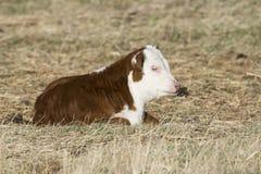Newborn икра Hereford Стоковое Изображение