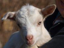 Newborn коза, южная Богемия Стоковая Фотография