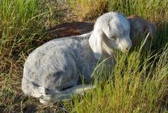 Newborn козы младенца Стоковые Фото