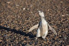 Newborn конец пингвина Патагонии младенца вверх по портрету Стоковая Фотография RF