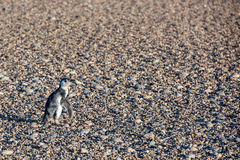 Newborn конец пингвина Патагонии младенца вверх по портрету Стоковое Изображение