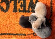 Newborn котята. Стоковые Фотографии RF