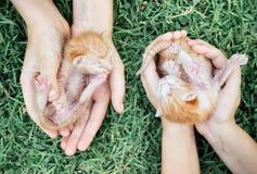 2 newborn котят в руках Стоковое Изображение