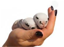 2 newborn кролика в изолированных руках ` s девушки Стоковые Изображения RF