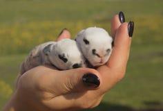 2 newborn кролика в руках ` s девушки Стоковое фото RF