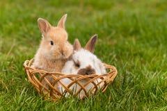 Newborn кролики в весеннем времени Стоковые Изображения RF