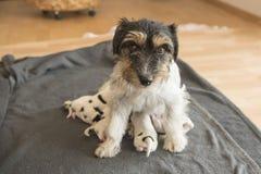 Newborn младенец собаки Один день старый - поднимите щенят домкратом терьера Рассела стоковое фото