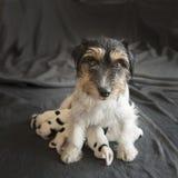 Newborn младенец собаки Один день старый - поднимите щенят домкратом терьера Рассела с ее мамой стоковая фотография rf