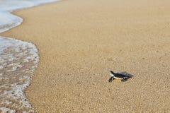 Newborn морская черепаха стоковая фотография rf