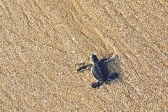 Newborn морская черепаха стоковое изображение rf