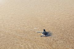 Newborn морская черепаха стоковое фото