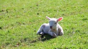Newborn овечка весны сток-видео