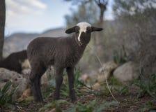 Newborn овечка в зиме Стоковые Фотографии RF