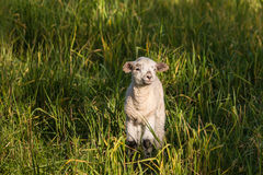 Newborn овечка греясь на зеленом луге Стоковое фото RF