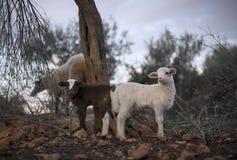 Newborn овечка и стадо белизны Snowy в зиме Стоковое фото RF