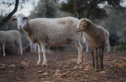Newborn овечка и стадо в зиме Стоковая Фотография
