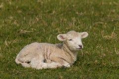 newborn овечка отдыхая на траве Стоковые Фото
