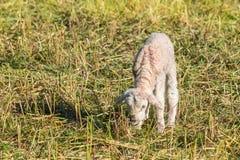 newborn овечка пася на луге Стоковое Фото
