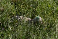 newborn овечка после овец матери давая рождение стоковые фото