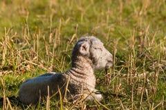 Newborn овечка спать на луге Стоковые Изображения RF