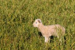 newborn овечка стоя на луге Стоковое Фото