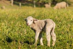 newborn овечка стоя на луге Стоковые Изображения RF