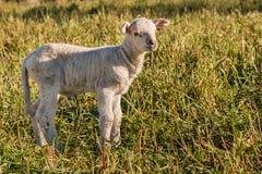 newborn овечка стоя на луге Стоковые Фото
