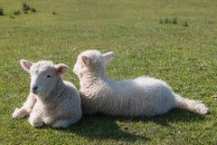 Newborn овечки отдыхая на траве Стоковая Фотография RF
