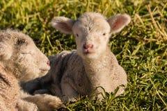 2 newborn овечки отдыхая на траве Стоковое Изображение RF
