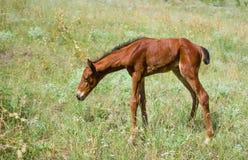 Newborn осленок на выгоне лета Стоковые Фотографии RF